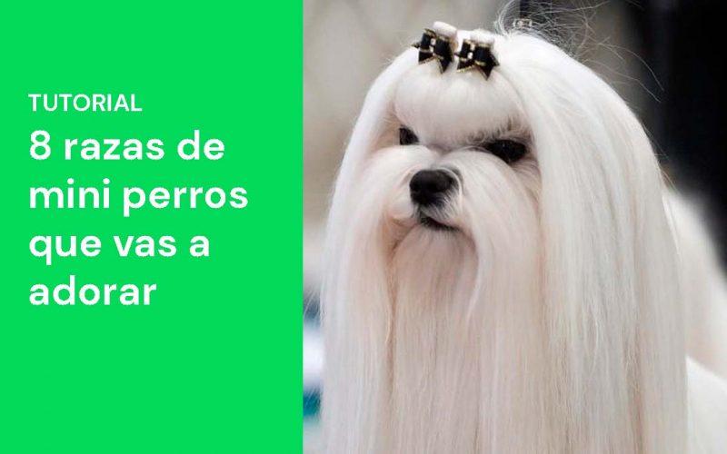8 razas de mini perros que vas a adorar