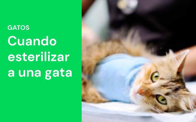 Cuando esterilizar a una gata