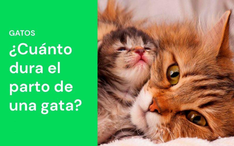 ¿Cuánto dura el parto de una gata?