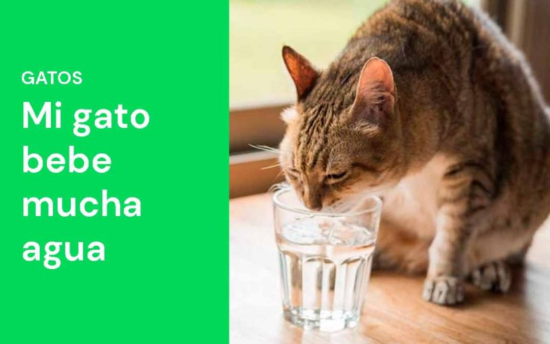 Mi gato bebe mucha agua
