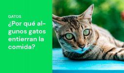 Entiende y descubre los motivos de porque algunos gatos entierran su comida